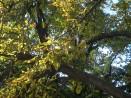 Обработват 1200 дървета срещу кестенов молец